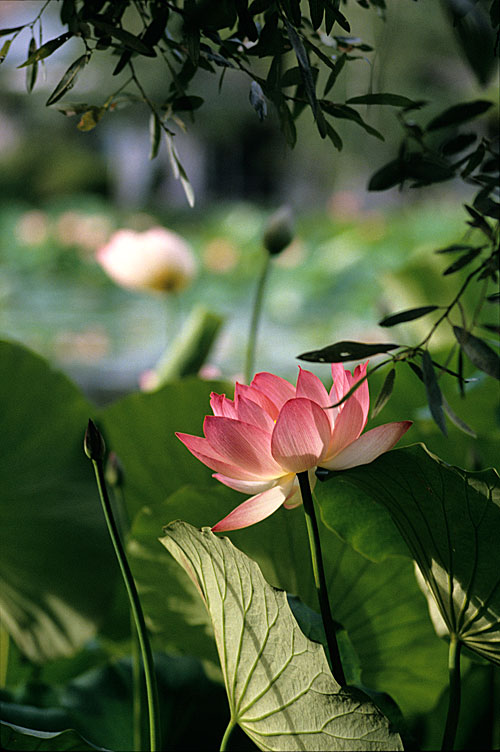 Twilight Lotus